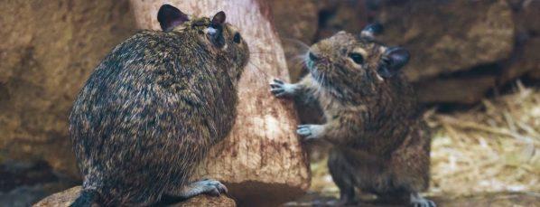 deux rats dans une habitation