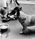 des chiens qui se nourrissent