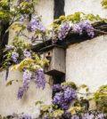 4 belles plantes grimpantes pour un mur fleuri