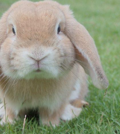 Ce qu'il faut savoir sur la vaccination du lapin