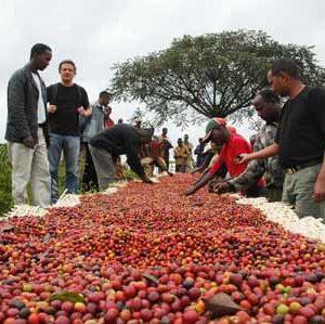 cafe robusta, arabica