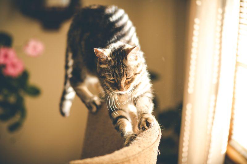 couper les griffes de son chat d'appartement