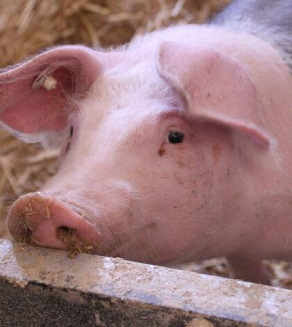 Quel matériel choisir pour l'abreuvement de porc ?